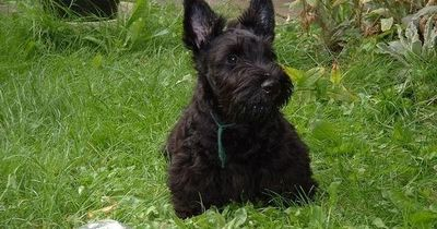 Scottish Terrier Basics When you think of a terrier, what kind of breed do you think of? Well, depending where you are, you might have a different ans...