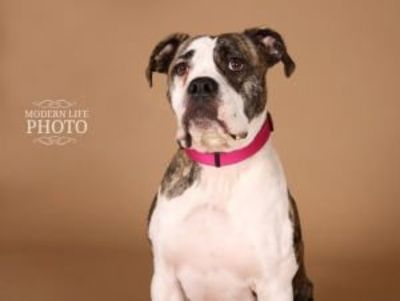 Darla is an adoptable Bullmastiff Dog in minneapolis, MN. So, I just got a name, its Darla! I hope you like it. Im about 1 years old and looking for a second chance at life and to be part of a family....