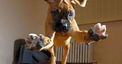 Attention, attention�€�.. incoming Boxer puppy ready to pounce in 3, 2, 1�€�.