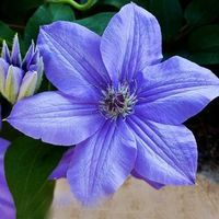 Egrow 100Pcs/pack Clematis Seeds Beautiful Climbing Plant Flower Seeds Bonsai Pot Perennial Flowers