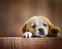 A sad-looking puppy begging for love.