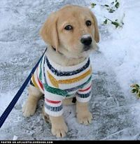 dog sweaters, sweater weather and golden retriever puppies.