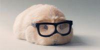 That Is Booboo The Guinea Pig