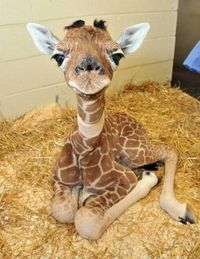 Awwww baby giraffe - wonder if I could keep one in my backyard? Not sure what the H.O.A. would think about that!
