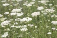 The delicate, frilly, clustered flower head of Queen Anne's lace, also known as wild carrot, is an attractive filler flower for bouquets and floral arrangements