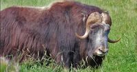 Qiviut naturally sheds in the springtime. Qiviut wool commands a high price due to it rarity, softness, warmth and light weight. Qiviut grows from every part of the muskox including the face, belly, ears, hooves and under the horns. Qiviut can grow up to ...