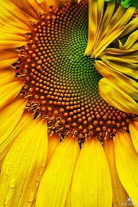 ~~Sunflower form and texture by Jim Crotty~~