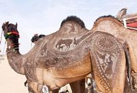 Yearly, Bikaner, in India, Rajasthan, hosts a Camel festival. Camel contests are held where camels are decked out with draping, buckles, saddles and �€˜tattoos'...their coats are shaved, trimmed, dyed and styled to feature designer �̈́...