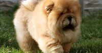 cute dog pictures free | ... quality Chow Chow Wallpaper 600X402 - Download Free Desktop Wallpapers