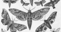 The Moth: symbol of change, metamorphosis, the importance of life or living in the moment. buuterfly, papiilon
