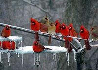 Cardinals....gorgeous!