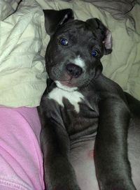 Bailee the American Pit Bull Terrier