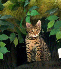 Best Cat Tree for Bengal Cats Bengal Cat Trees Large Sturdy Cat Towers for Bengals