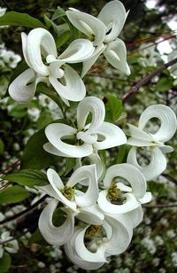 Mexican Flowering Dogwood. Cornus florida urbiniana. a.k.a. Magic Dogwood. An exotic Mexican variant of the more common Flowering Dogwood.