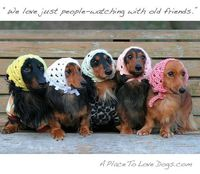 Old lady doxies! Now get some wire haired and put top hats on them...