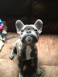fabulous pictures: great images: French bulldog