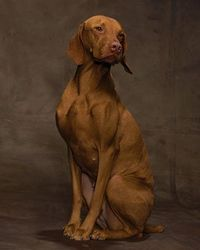 Hungarian Vizsla poses for a studio portrait #dogs