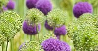 Gardener's Supply -- Try a few alliums in your flower gardens this season and discover the grace and good manners of these under-appreciated perennials.