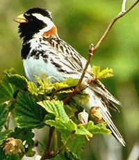 Lapland Longspur (Calcarius lapponicus), also known as the Lapland bunting, is a passerine bird in the longspur family Calcariidae, a group separated by most modern authors from the Fringillidae (Old World finches).