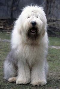 OLD ENGLISH SHEEPDOG-this is my dream dog-don't tell anyone.