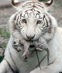 White Tiger and her Cub