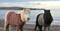 Just some shetland ponies in sweaters, on the beach. NBD.