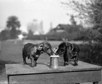 Dachshunds. Beer. It's a German thing.