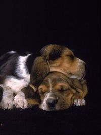 basset hound pups. ... Brought to you in part by StoneArtUSA.com ~ affordable custom pet memorials since 2001