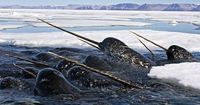 I thought narwhals were mythical creatures, like unicorns, when I first heard of them. I was devastated when I saw them in real life being hunted. Just love.