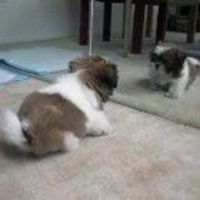An adorable Shih tzu puppy finds his voice...