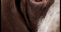 close up of dog eyes | Gallery > Matt Laur > Photos > Pups > German Shorthaired Pointer Pup ...