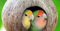 Peach faced love birds in a coconut nest