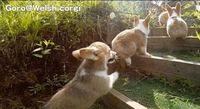 Distractify | Corgi Puppies Running In Slow Motion Will Overwhelm You With Cuteness