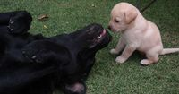 labradors. The big dog is lying on his back, belly exposed, so that s/he and the small pup are eye-to-eye. To play.