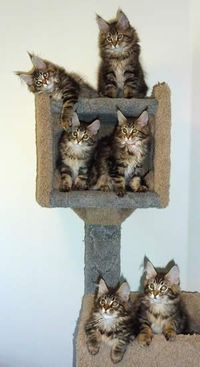 Thispostwas discovered by Shawn Senesac. Discover (and save!) your own Pins on Pinterest.   See more about maine coon cats, cat trees and kittens.
