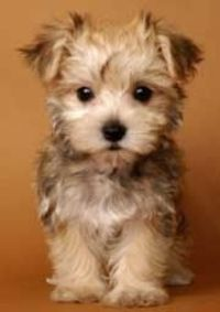 amaaaaazziingg! I love morkies.. especially when I shall have one named Kevin. like from the proposal.. and up. :)