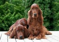 Image result for irish setters dogs