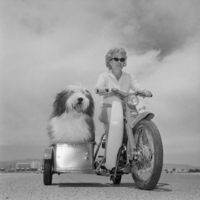 5/14/1962-Las Vegas, NV- People may think they're the smartest animals in the world, but this English sheep dog, �€œZero Zero�€ by name, appea...