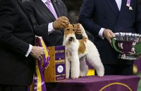 Westminster Dog Show Best in Show winner Sky the wire fox terrier.