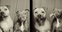 This Is What Happens When You Put Pit Bulls In A Photo Booth These pictures really show the typical pit bull personality!
