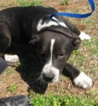 Kubo is an adoptable Border Collie searching for a forever family near Stillwater, OK. Use Petfinder to find adoptable pets in your area.