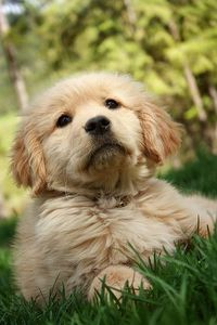 Golden Retriever puppy...that is some serious cute.