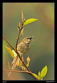 Hill Prinia The Hill Prinia is distributed from the eastern Himalayas to south and east China and southwards through Indochina and the Malaysian Peninsula to Sumatra. It is found on grassy hill and mountainsides where there is some cover from scrub or shr...