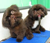 groom shih tzu face | ... about shih tzu from grooming, showing, and caring for shih tzu puppy