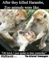 After they killed Harambe humor #funny #humor #lol #funnypictures #PMSLweb