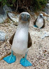 Sometimes, Nature is just awesome. This is a Blue-Footed Booby