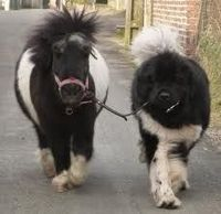 """""""This is my brodder with a different modder"""" Newfoundland dog + Pony"""