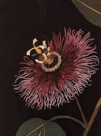 Mary Delany/�€œPassiflora Laurifolia�€ (detail)-1777/Collage of coloured papers with watercolor
