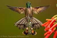 Face off! - a tiny Purple-throated Woodstar facing down a much larger aggressive Fawn-breasted Brilliant. Pacific Slope, 5500' - Ecuador Hummingbirds - Ralph Paonessa Photo Workshops
