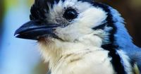 """Magpie Jay �€"""" Amazing Pictures - Amazing Travel Pictures with Maps for All Around the World"""